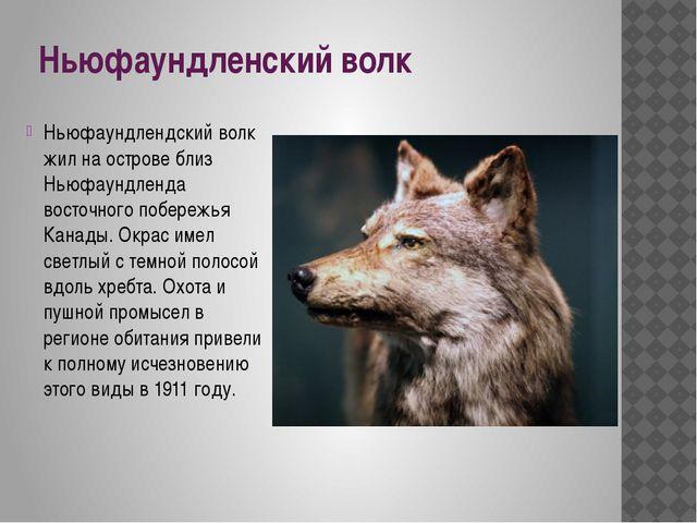 Ньюфаундленский волк Ньюфаундлендский волк жил на острове близ Ньюфаундленда...
