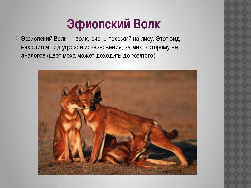 Эфиопский Волк Эфиопский Волк — волк, очень похожий на лису. Этот вид находит...