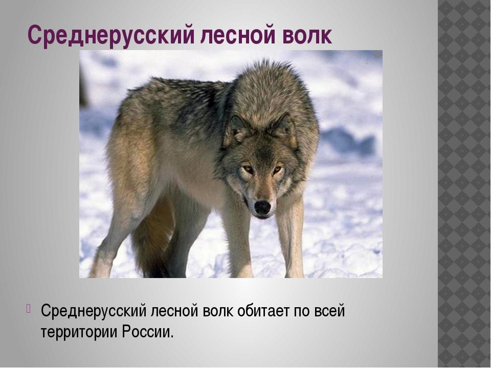Среднерусский лесной волк Среднерусский лесной волк обитает по всей территори...