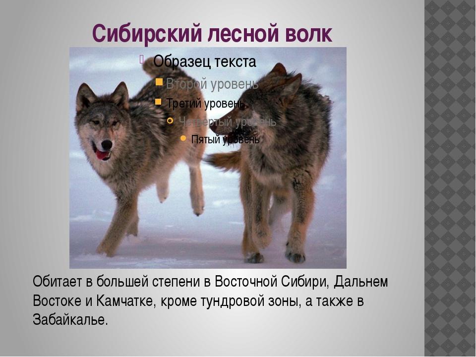 Сибирский лесной волк Обитает в большей степени в Восточной Сибири, Дальнем В...