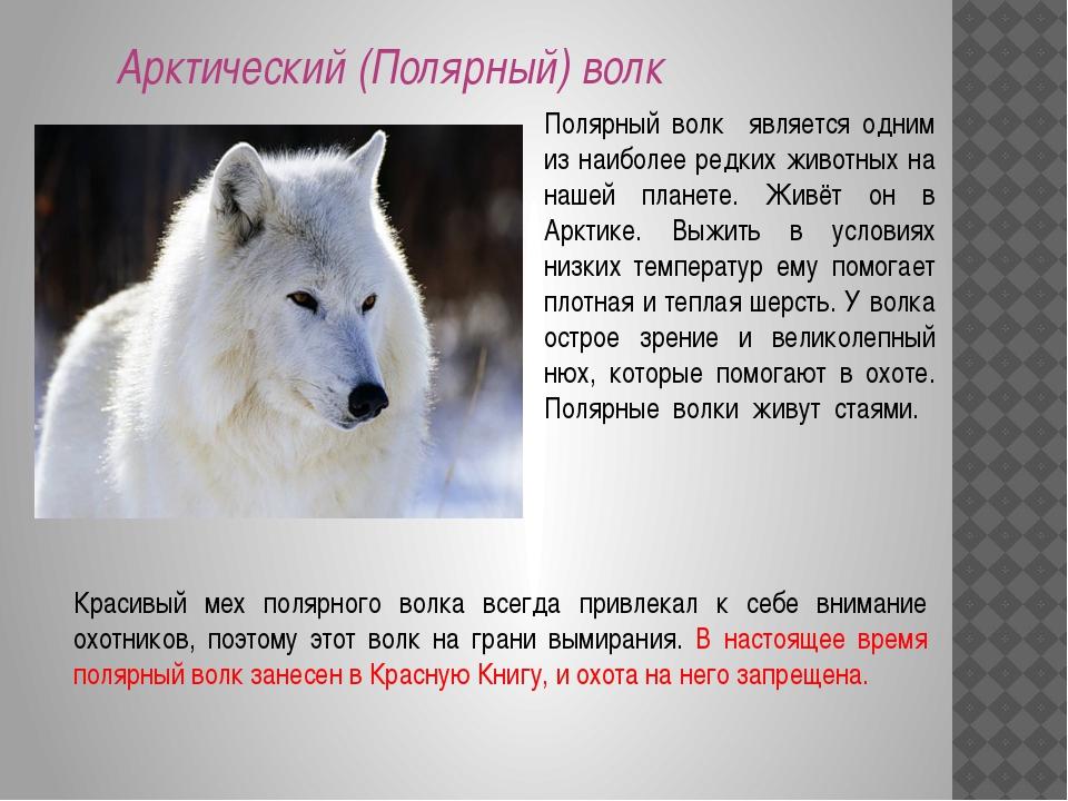 Арктический (Полярный) волк Полярный волк является одним из наиболее редких ж...