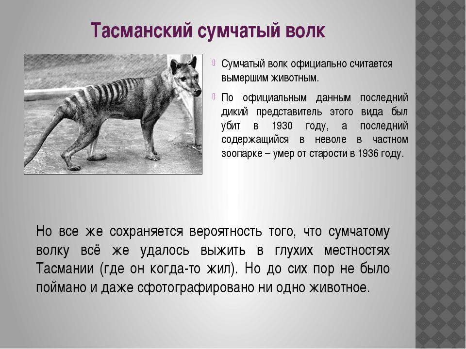 Тасманский сумчатый волк Сумчатый волк официально считается вымершим животным...