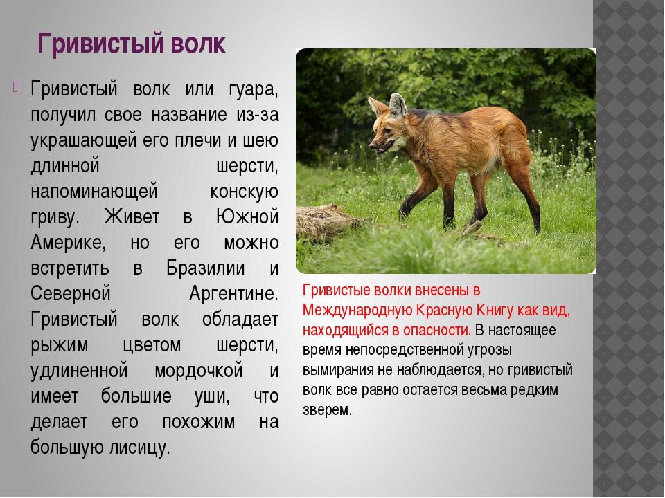 Гривистый волк Гривистый волк или гуара, получил свое название из-за украшающ...