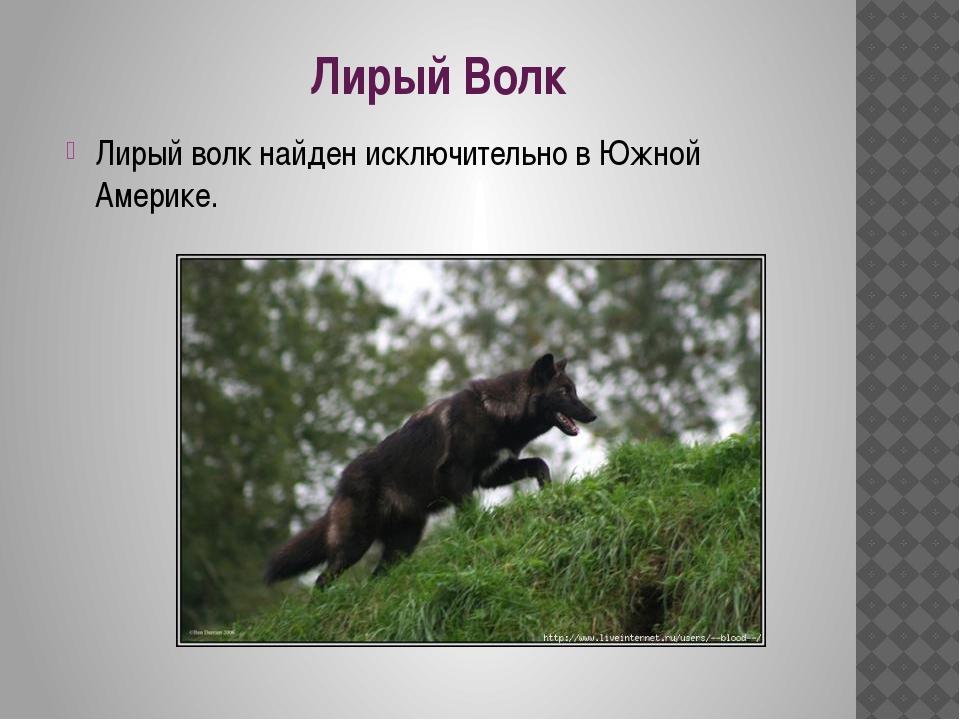 Лирый Волк Лирый волк найден исключительно в Южной Америке.