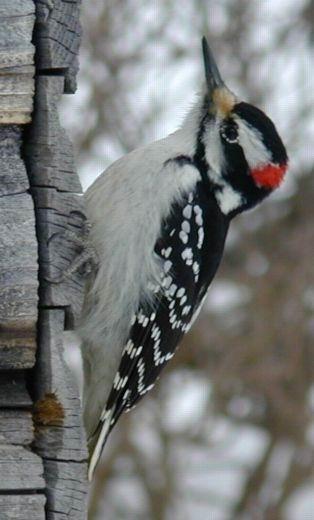 Описание: woodpecker