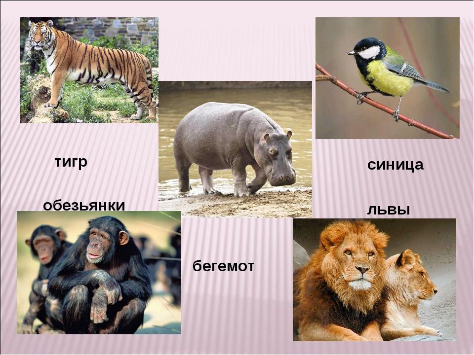 тигр синица обезьянки львы бегемот