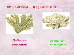 ЛИШАЙНИКИ – ПОД ОХРАНОЙ: Лобария легочная Асахинея шоландера