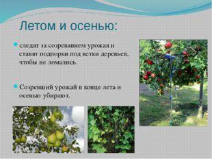 Летом и осенью: следят за созреванием урожая и ставят подпорки под ветки дере