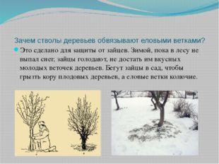 Зачем стволы деревьев обвязывают еловыми ветками? Это сделано для защиты от з