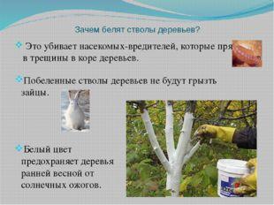Зачем белят стволы деревьев? Это убивает насекомых-вредителей, которые прячут