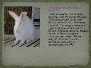 Кролики породы Белый великан. Как следует из названия породы это крупный кро
