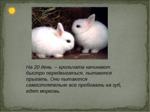 На 20 день – крольчата начинают быстро передвигаться, пытаются прыгать. Они п