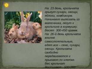 На 23 день, крольчата грызут сухари, овощи, яблоки, комбикорм. Начинают вылез