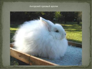 Ангорский пуховый кролик