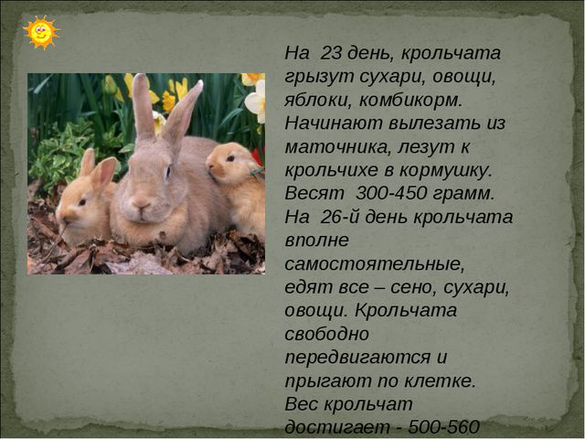 На 23 день, крольчата грызут сухари, овощи, яблоки, комбикорм. Начинают вылез...