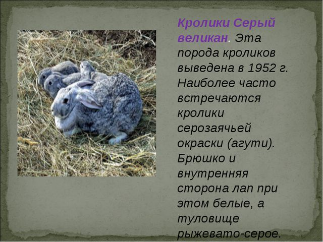 Кролики Серый великан. Эта порода кроликов выведена в 1952 г. Наиболее часто...
