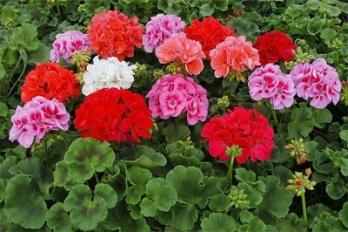 http://3.bp.blogspot.com/-3CuNZrgttF8/UGQ5vTbxWEI/AAAAAAAAC8Y/aXg2OJXz3Ac/s400/pelargoniia-geranievye.jpg