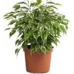 Фикус Бенджамина растения очищающие воздух