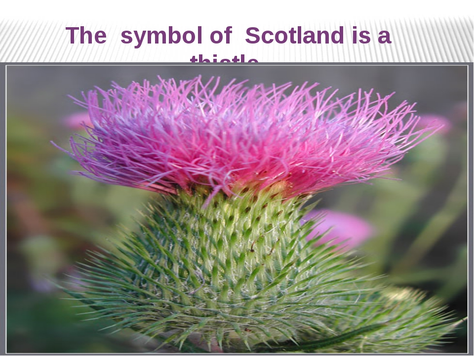 The symbol of Scotland is а thistle