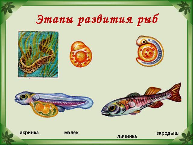Этапы развития рыб икринка зародыш личинка малек