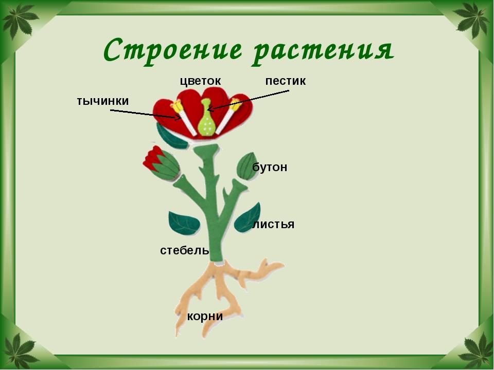 Строение растения корни стебель листья бутон цветок пестик тычинки