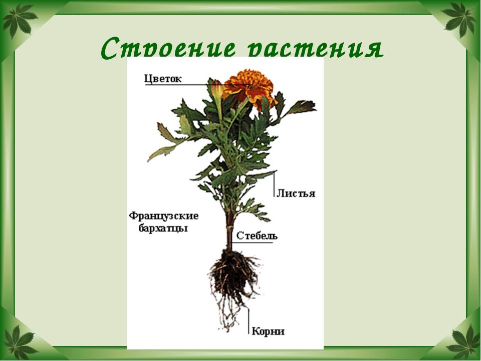 Строение растения схема 6 класс биология