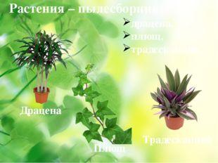 Растения – пылесборники: драцена, плющ, традесканция. Драцена Плющ Традесканция