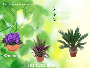 Растения – увлажнители: фиалка, традесканция, пальма Фиалка Традесканция Пал