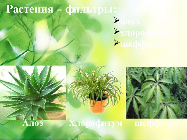 Растения – фильтры: алоэ, хлорофитум, шеффлера. Алоэ Хлорофитум шеффлера