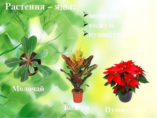 Растения – яды: молочай, кодеум, пуансеттия. Молочай Кодеум Пуансеттия