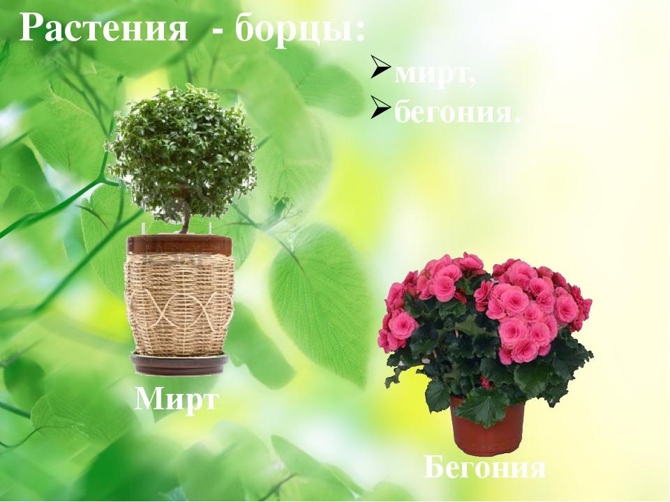 Растения - борцы: мирт, бегония. Мирт Бегония