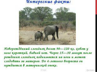 Новорождённый слонёнок весит 90—120 кг, хобот у него короткий, бивней нет. Че