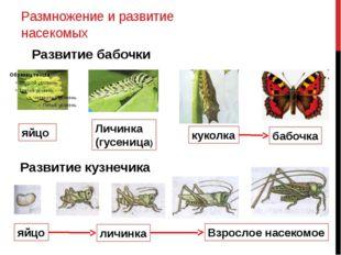 Размножение и развитие насекомых Развитие бабочки яйцо Личинка (гусеница) кук