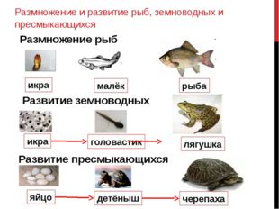 Размножение и развитие рыб, земноводных и пресмыкающихся икра малёк рыба Разм