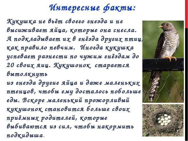 Интересные факты: Кукушка не вьёт своего гнезда и не высиживает яйца, которые...