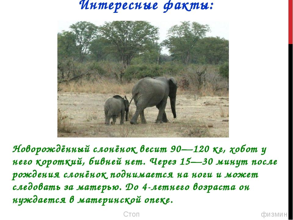 Новорождённый слонёнок весит 90—120 кг, хобот у него короткий, бивней нет. Че...