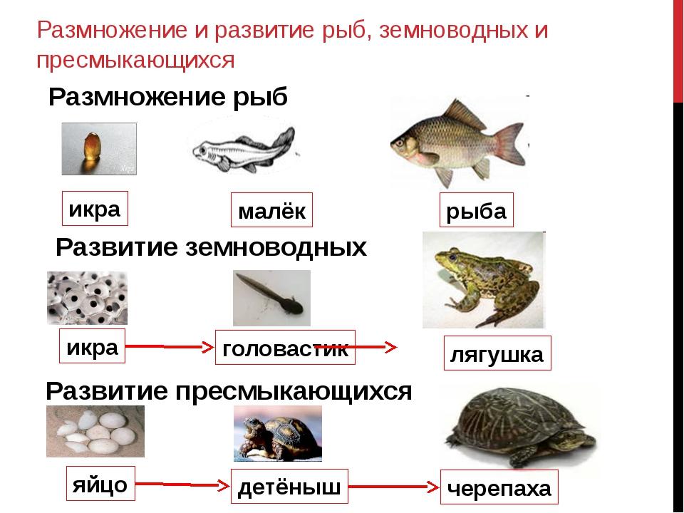Размножение и развитие рыб, земноводных и пресмыкающихся икра малёк рыба Разм...