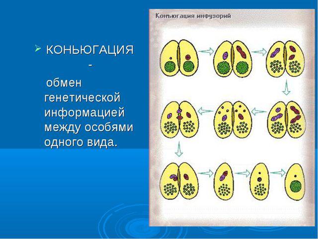 КОНЬЮГАЦИЯ- обмен генетической информацией между особями одного вида.