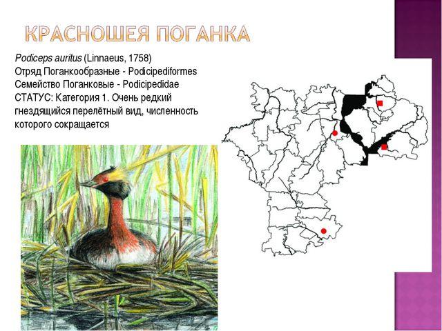 Podiceps auritus(Linnaeus, 1758) Отряд Поганкообразные - Podicipediformes Се...