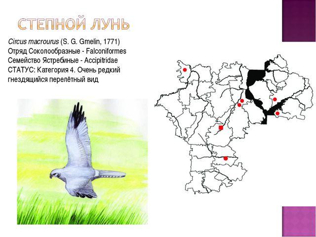 Circus macrourus(S. G. Gmelin, 1771) Отряд Соколообразные - Falconiformes Се...