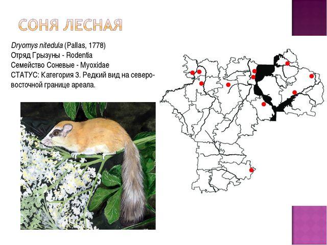 Dryomys nitedula(Pallas, 1778) Отряд Грызуны - Rodentia Семейство Соневые -...