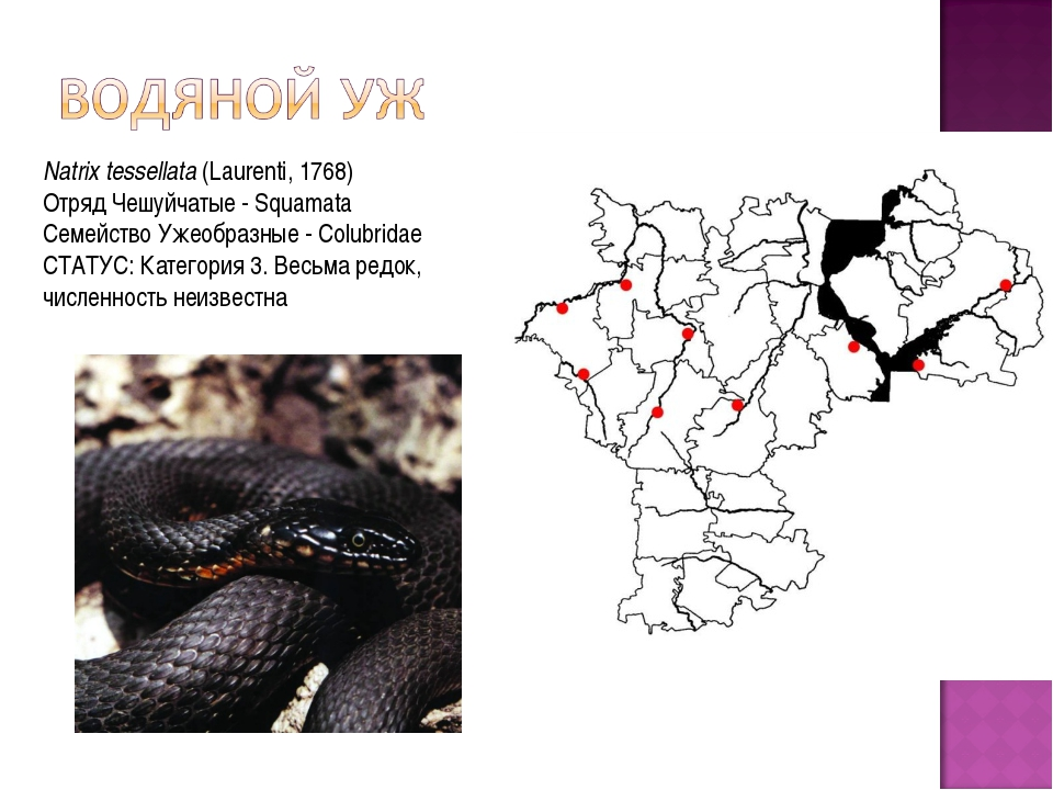 Natrix tessellata(Laurenti, 1768) Отряд Чешуйчатые - Squamata Семейство Уже...
