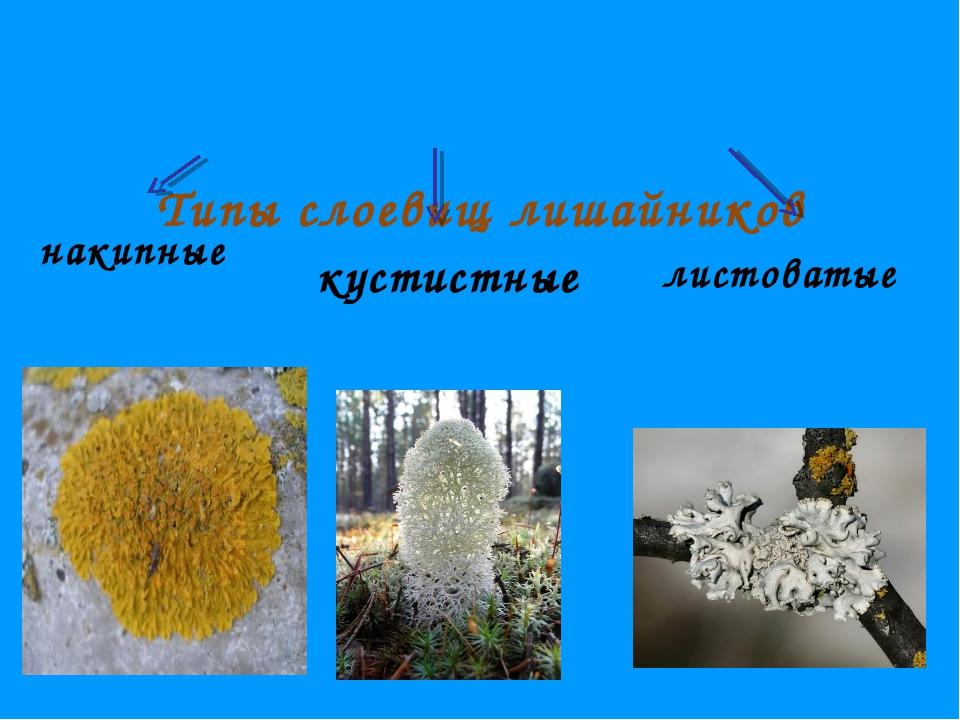 Типы слоевищ лишайников накипные кустистные листоватые