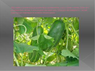 Сбор первого урожая огурцов должен быть систематичным, а не от случая к случа