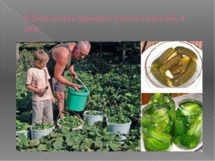 В сборе урожая принимают участие и взрослые, и дети.