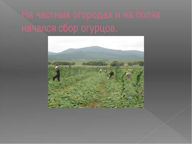 На частных огородах и на полях начался сбор огурцов.