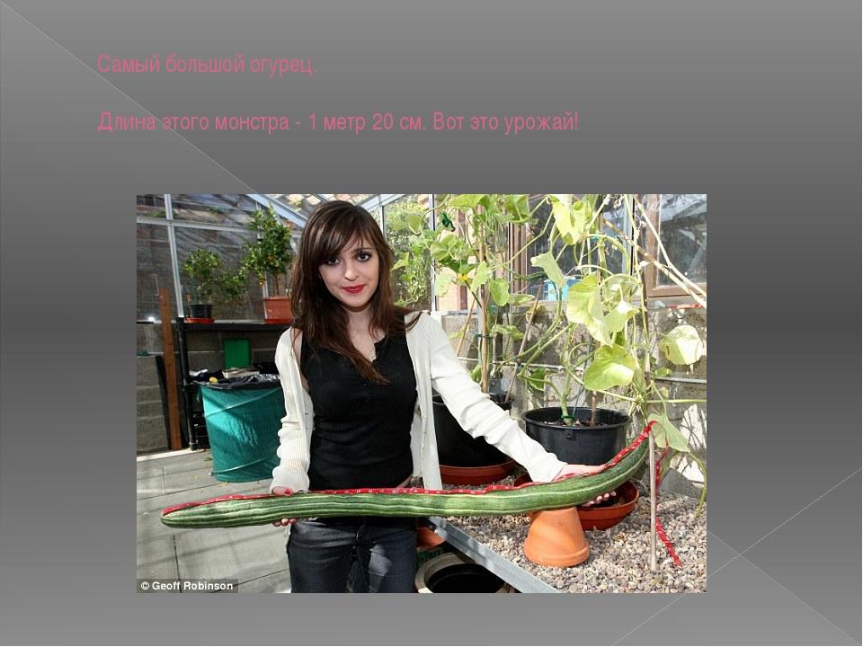 Самый большой огурец. Длина этого монстра - 1 метр 20 см. Вот это урожай!