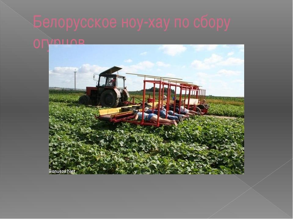 Белорусское ноу-хау по сбору огурцов