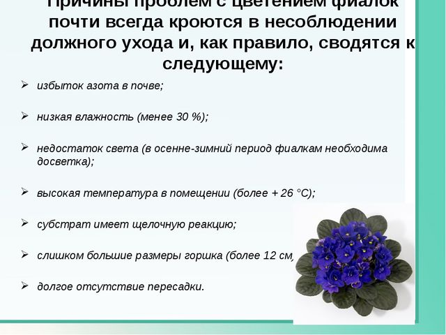 Причины проблем с цветением фиалок почти всегда кроются в несоблюдении должно...