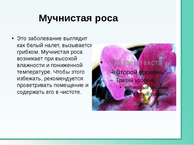 Мучнистая роса Это заболевание выглядит как белый налет, вызывается грибком....